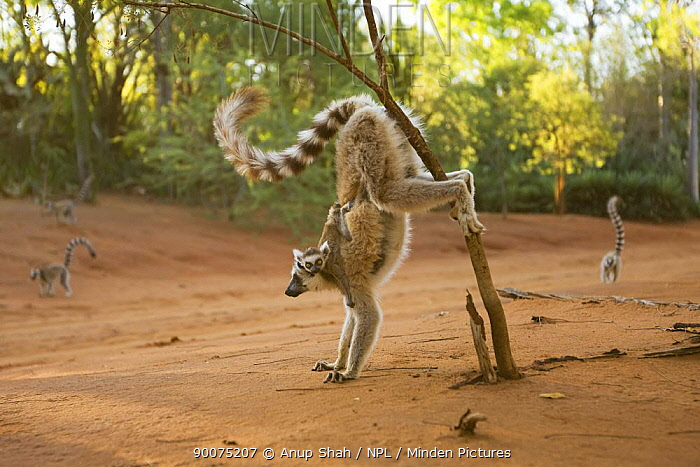 Ring-tailed Lemur (Lemur catta) female carrying baby and scent marking Berenty Private Reserve, Madagascar  -  Anup Shah/ npl