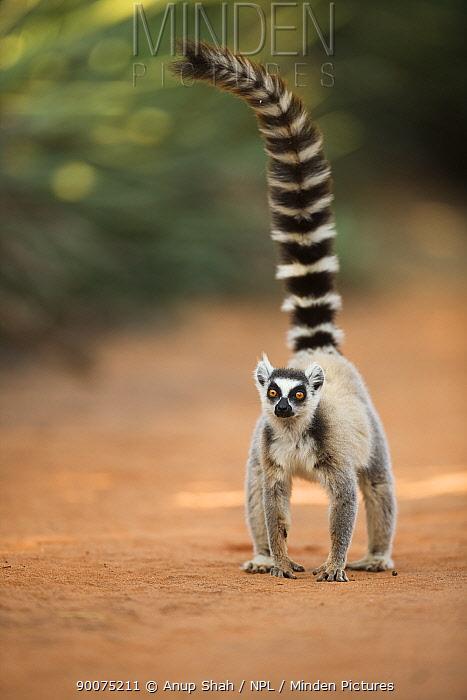 Ring-tailed Lemur (Lemur catta) standing head on Berenty Private Reserve, Madagascar  -  Anup Shah/ npl