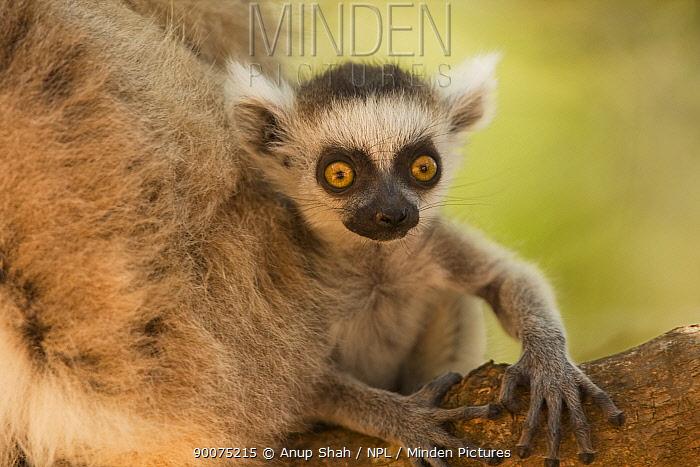 Ring-tailed Lemur (Lemur catta) infant portrait Berenty Private Reserve, Madagascar  -  Anup Shah/ npl