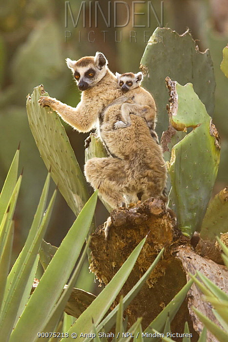 Ring-tailed Lemur (Lemur catta) female with infant riding on her back Berenty Private Reserve, Madagascar  -  Anup Shah/ npl