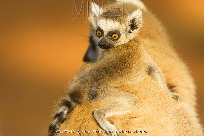 Ring-tailed Lemur (Lemur catta) female with infant clinging to its mother's back Berenty Private Reserve, Madagascar  -  Anup Shah/ npl
