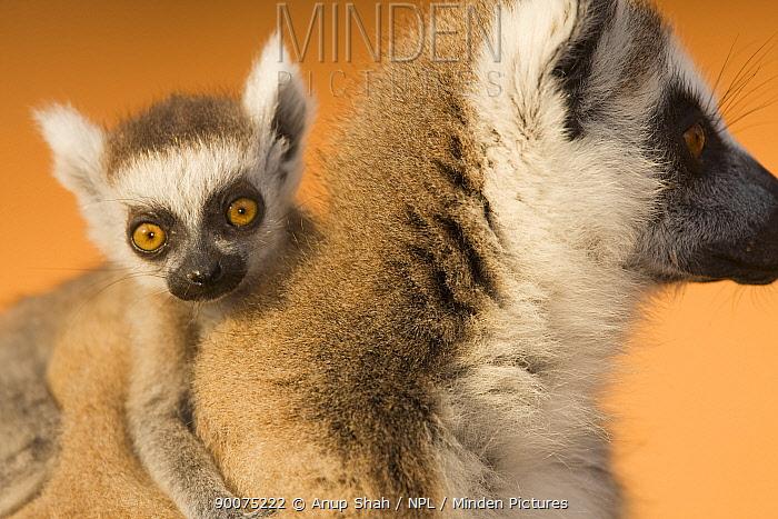 Ring-tailed Lemur (Lemur catta) female with infant portrait Berenty Private Reserve, Madagascar  -  Anup Shah/ npl