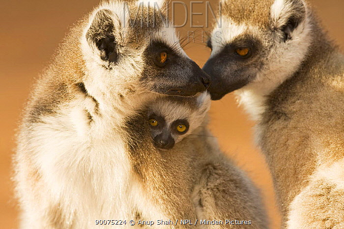 Ring-tailed Lemur (Lemur catta) adult grooming another's baby Berenty Private Reserve, Madagascar  -  Anup Shah/ npl