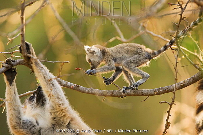 Ring-tailed Lemur (Lemur catta) infant exploring tree close to its mother, Berenty Private Reserve, Madagascar  -  Anup Shah/ npl