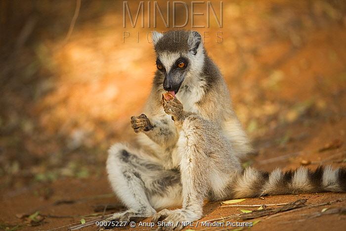 Ring-tailed Lemur (Lemur catta) feeding on a tamarind pod Berenty Private Reserve, Madagascar  -  Anup Shah/ npl