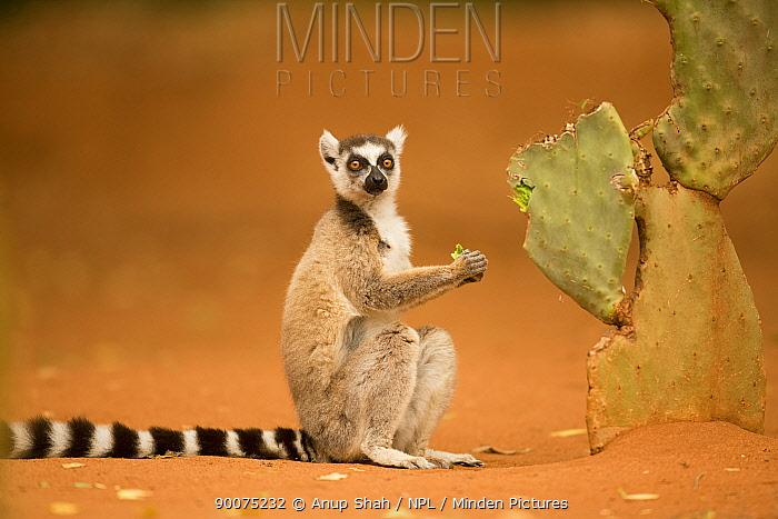 Ring-tailed Lemur (Lemur catta) feeding on cactus Berenty Private Reserve, Madagascar  -  Anup Shah/ npl
