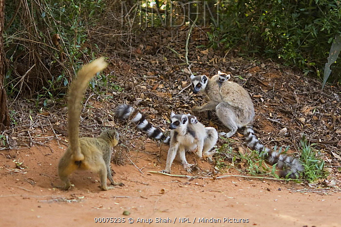 Ring-tailed Lemur (Lemur catta) in confrontation with Red-fronted Brown Lemur female (Eulemur rufus) over food Berenty Private Reserve, Madagascar  -  Anup Shah/ npl