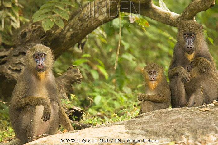 Mandrill (Mandrillus sphinx) females with infants in gallery forest during dry season Lope National Park, Gabon  -  Anup Shah/ npl