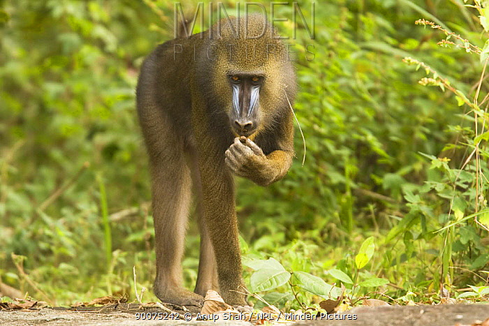 Mandrill (Mandrillus sphinx) male sub-adult foraging in gallery forest during dry season Lope National Park, Gabon  -  Anup Shah/ npl