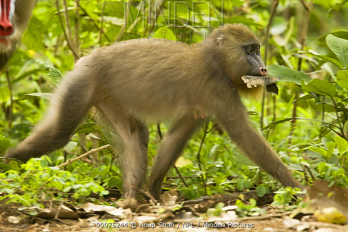 Mandrill (Mandrillus sphinx) female in estreus carrying leaves in her mouth for a later meal Gallery forest during dry season Lope National Park, Gabon  -  Anup Shah/ npl