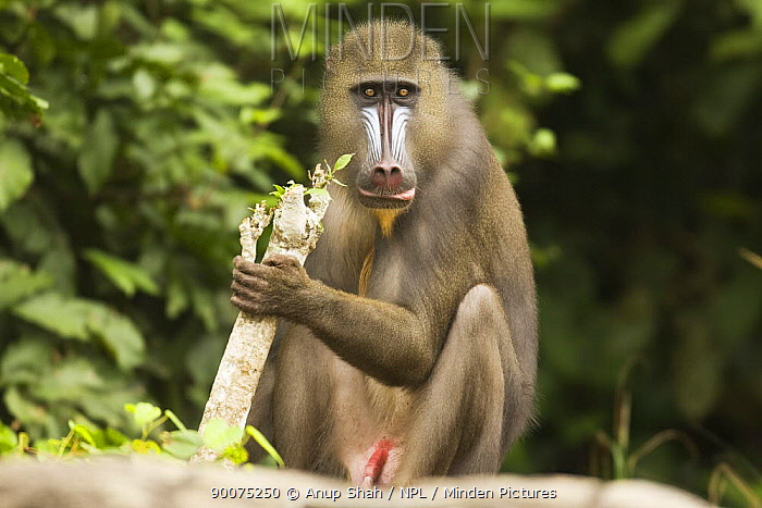 Mandrill (Mandrillus sphinx) male sub-adult sitting in gallery forest during dry season Lope National Park, Gabon  -  Anup Shah/ npl