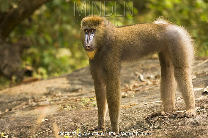 Mandrill (Mandrillus sphinx) young male in gallery forest during dry season Lope National Park, Gabon  -  Anup Shah/ npl