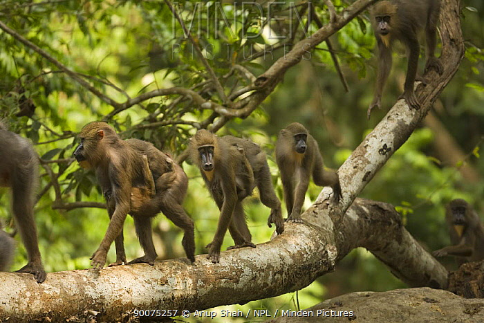 Mandrill (Mandrillus sphinx) horde including two mothers carrying babies, walking along tree branch in gallery forest during dry season Lope National Park, Gabon  -  Anup Shah/ npl