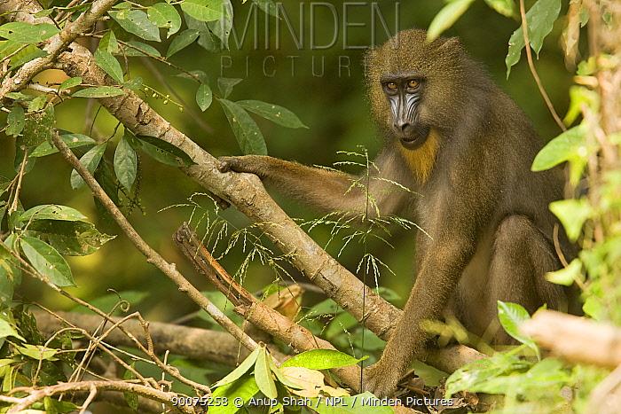 Mandrill (Mandrillus sphinx) juvenile sitting in gallery forest Lope National Park, Gabon  -  Anup Shah/ npl