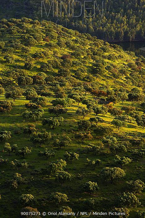 Holm Oak, Evergreen Oak (Quercus rotundifolia) dehesa in Monfrague, Caceres, Extremadura, Spain, April  -  Oriol Alamany/ npl