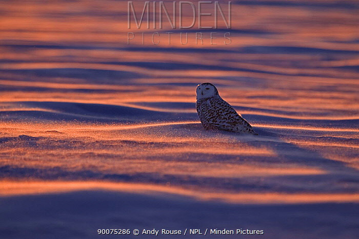 Snowy owl (Bubo scandiaca) perched on snow, Canada  -  Andy Rouse/ npl