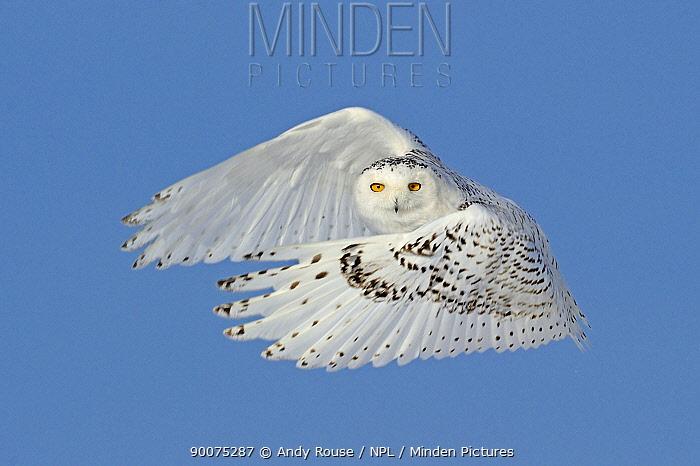 Snowy owl (Bubo scandiaca) flying, wings forward, Canada  -  Andy Rouse/ npl