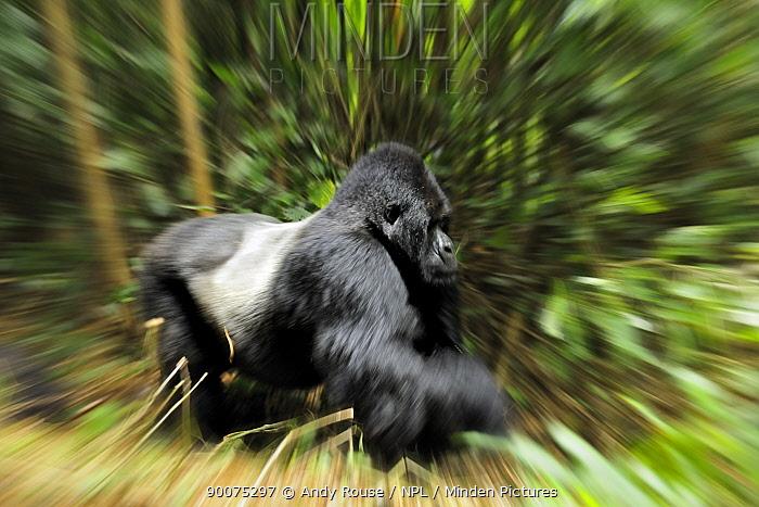 Mountain gorilla (Gorilla beringei beringei) silverback moving through habitat, Volcanoes NP, Virunga mountains, Rwanda  -  Andy Rouse/ npl
