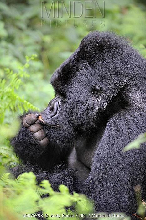 Mountain gorilla (Gorilla beringei beringei) silverback playing with his lip, Volcanoes NP, Virunga mountains, Rwanda  -  Andy Rouse/ npl