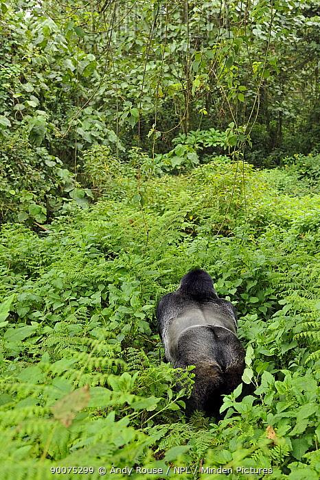 Mountain gorilla (Gorilla beringei beringei) looking down on silverback in habitat, Volcanoes NP, Virunga mountains, Rwanda  -  Andy Rouse/ npl
