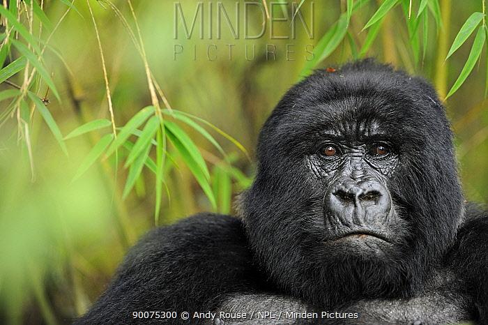 Mountain gorilla (Gorilla beringei beringei) female, portrait, Volcanoes NP, Virunga mountains, Rwanda  -  Andy Rouse/ npl