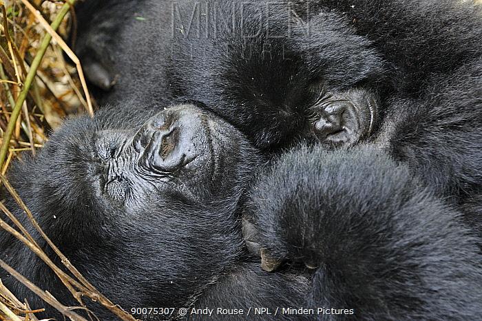 Mountain gorilla (Gorilla beringei beringei) mother and young sleeping, Volcanoes NP, Virunga mountains, Rwanda  -  Andy Rouse/ npl