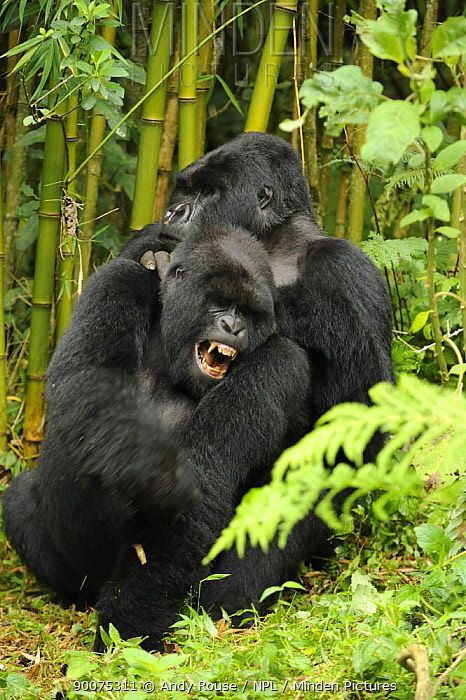 Mountain gorilla (Gorilla beringei beringei) silverback and blackback males playing in habitat, Volcanoes NP, Virunga mountains, Rwanda  -  Andy Rouse/ npl