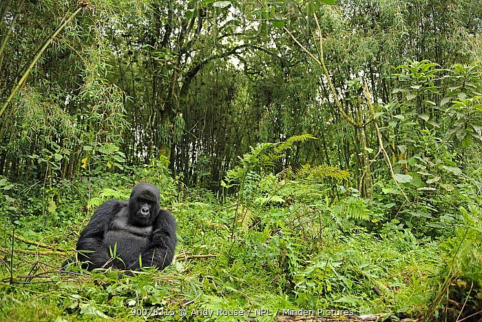Mountain gorilla (Gorilla beringei beringei) young silverback male in habitat, Volcanoes NP, Virunga mountains, Rwanda  -  Andy Rouse/ npl