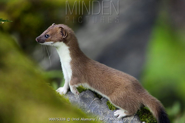 Short-tailed Weasel (Mustela erminea) juvenile, Aran valley, Pyrenees, Spain  -  Oriol Alamany/ npl
