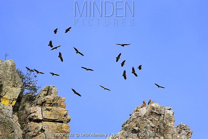 Griffon Vulture (Gyps fulvus) soaring over cliffs, Monfrague National Park, Caceres, Extremadura, Spain  -  Oriol Alamany/ npl