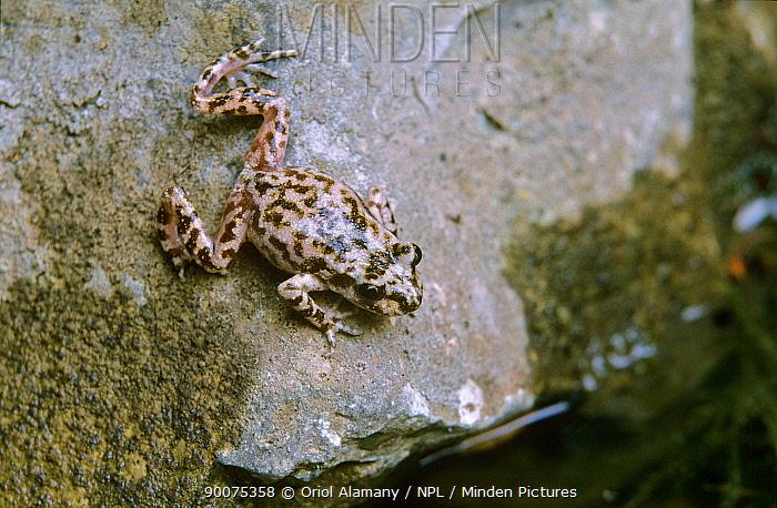 Mallorcan Midwife Toad (Alytes muletensis) toad to Mallorca, Majorca island, Balearic Islands, Spain  -  Oriol Alamany/ npl