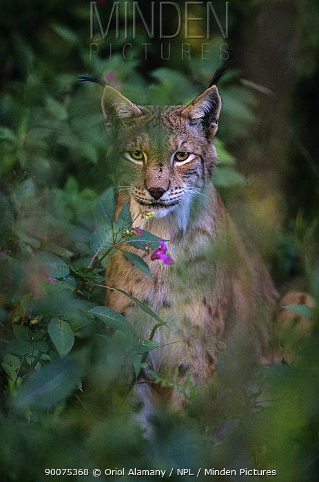 Eurasian Lynx (Lynx lynx) captive, Bayerischer Wald National Park, Germany  -  Oriol Alamany/ npl