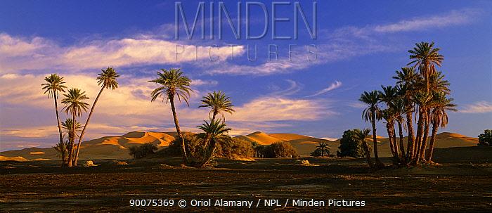 Sand dunes and Date Palms (Phoenix dactylifera) at Erg Chebbi, Sahara Desert, Tafilalt, Morocco, November  -  Oriol Alamany/ npl