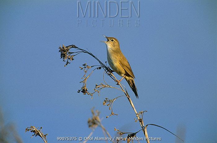 Savi's Warbler (Locustella luscinioides), male singing, Tablas de Daimiel National Park, Castilla-La Mancha, Spain  -  Oriol Alamany/ npl