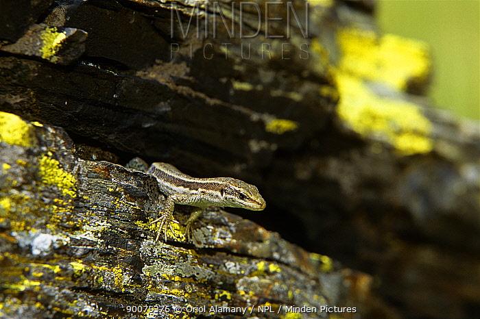 Aran rock lizard (Iberolacerta aranica) female in Aran valley, Pyrenees, Catalonia, Spain, August, endemic in Aran valley Endangered  -  Oriol Alamany/ npl