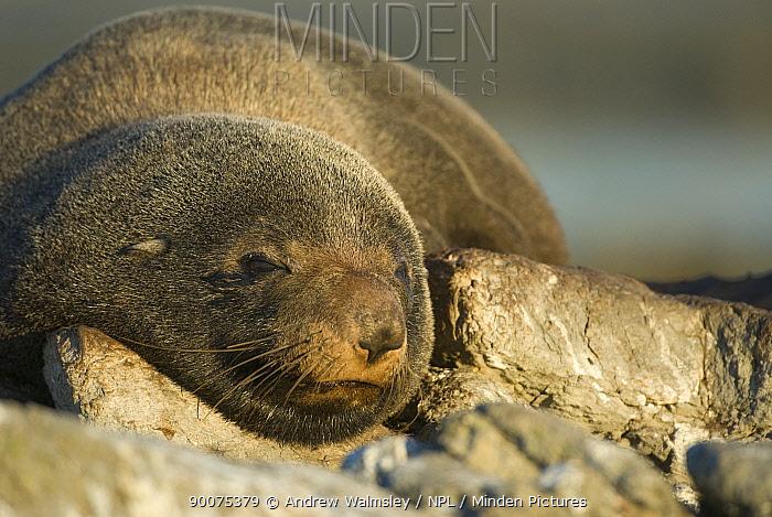 New Zealand Fur Seal (Arctocephalus forsteri) sleeping, Kaikoura, South Island, New Zealand  -  Andrew Walmsley/ npl