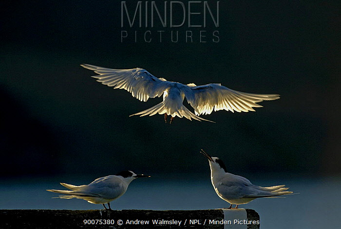White fronted terns (Sterna striata) two perched, one landing, backlit, Bank's Peninsula, South Island, New Zealand, April  -  Andrew Walmsley/ npl