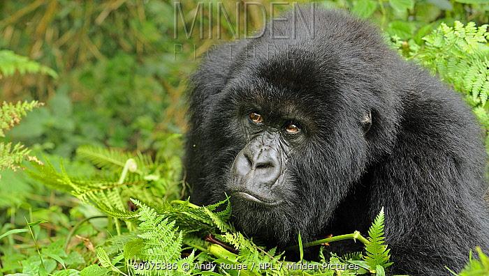 Mountain gorilla (Gorilla beringei beringei) drunk on bamboo shoots, Volcanoes NP, Virunga mountains, Rwanda  -  Andy Rouse/ npl