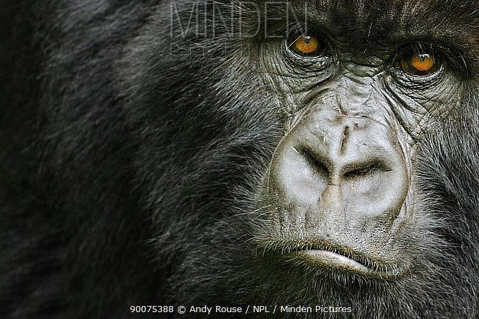 Mountain gorilla (Gorilla beringei beringei) young female, portrait, Volcanoes NP, Virunga mountains, Rwanda  -  Andy Rouse/ npl