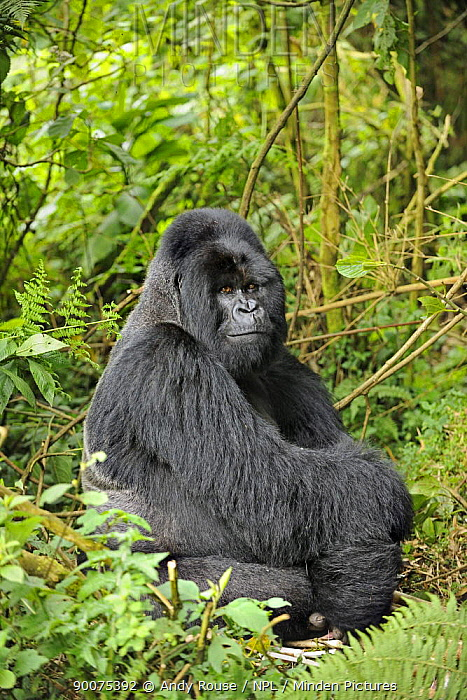 Mountain gorilla (Gorilla beringei beringei) silverback sitting in habitat, Volcanoes NP, Virunga mountains, Rwanda  -  Andy Rouse/ npl