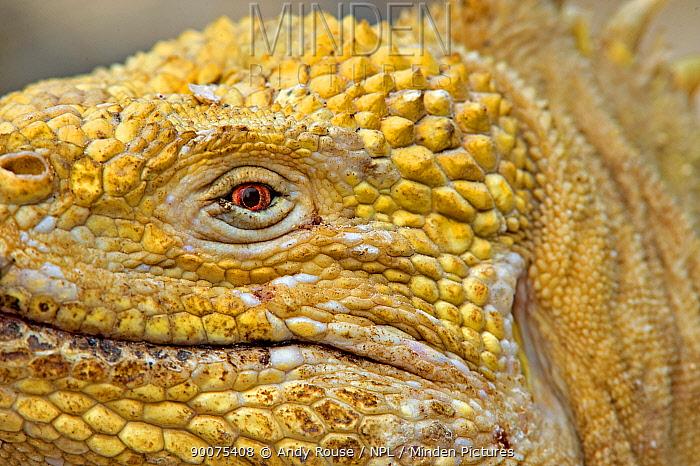 Galapagos, Ecuador Land Iguana (Conolophus subcristatus) close up, Urbina Bay, Isabela Island, Galapagos, Ecuador  -  Andy Rouse/ npl