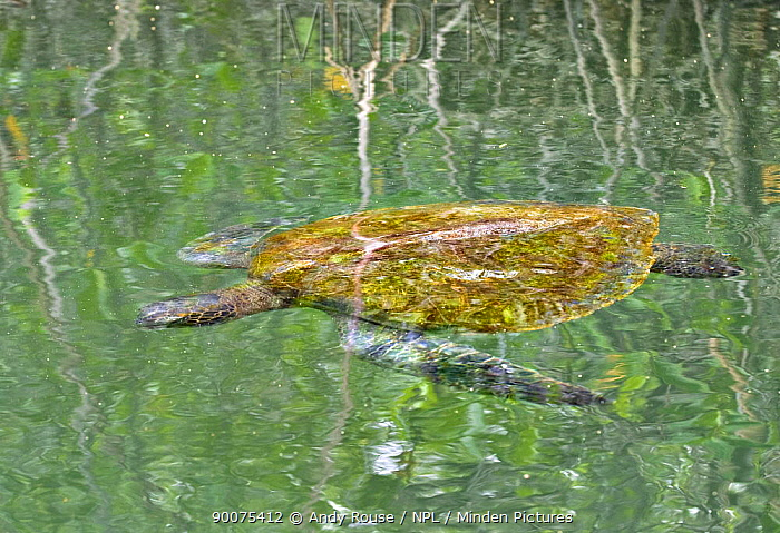 Pacific Green Sea Turtle (Chelonia mydas agassizi) resting in water, sleeping in mangrove forest, Galapagos, Ecuador  -  Andy Rouse/ npl