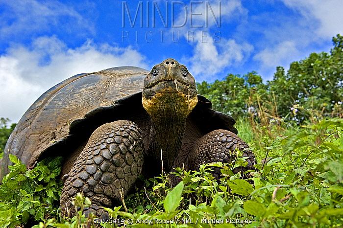 Galapagos giant tortoise (Geochelone elephantopus, nigra) adult feeding, Santa Cruz, Galapagos  -  Andy Rouse/ npl