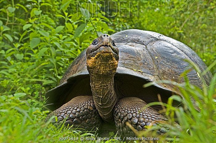 Galapagos giant tortoise (Geochelone elephantopus, nigra) adult in habitat, Santa Cruz, Galapagos  -  Andy Rouse/ npl