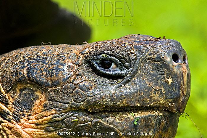 Galapagos giant tortoise (Geochelone elephantopus, nigra) adult portrait, Santa Cruz, Galapagos  -  Andy Rouse/ npl