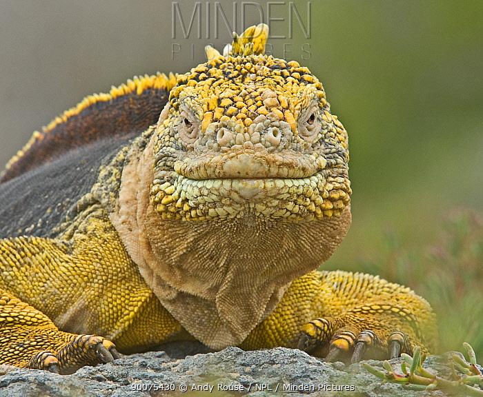 Galapagos, Ecuador Land Iguana (Conolophus subcristatus) in habitat, Plaza Sur, Galapagos, Ecuador  -  Andy Rouse/ npl