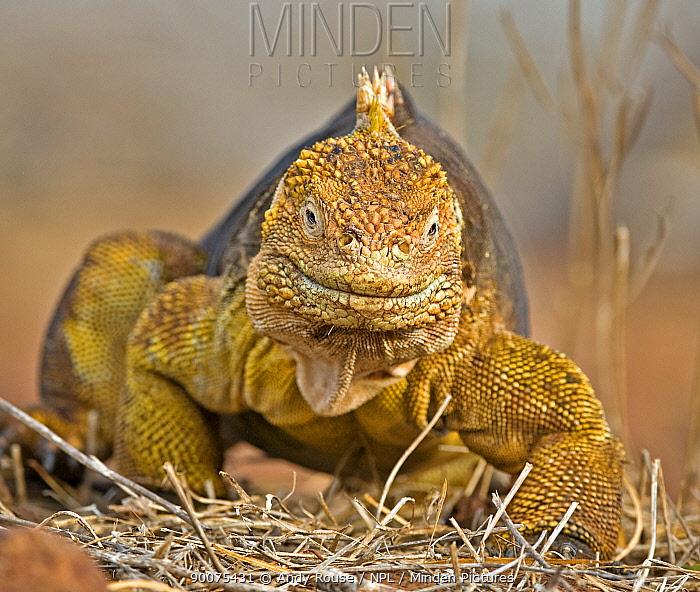 Galapagos, Ecuador Land Iguana (Conolophus subcristatus) walking, North Seymour, Galapagos, Ecuador  -  Andy Rouse/ npl