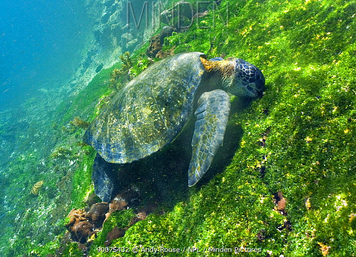 Pacific Green Sea Turtle (Chelonia mydas agassizi) feeding on algae underwater, Galapagos, Ecuador  -  Andy Rouse/ npl