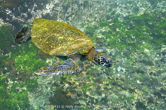 Pacific Green Sea Turtle (Chelonia mydas agassizi) swimming, underwater, Galapagos, Ecuador  -  Andy Rouse/ npl