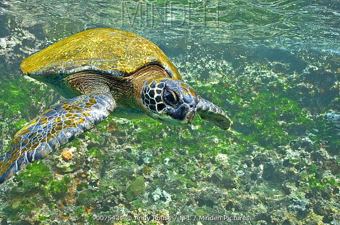 Pacific Green Sea Turtle (Chelonia mydas agassizi) swimming, Galapagos, Ecuador  -  Andy Rouse/ npl
